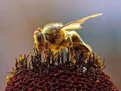 Bee Colleting Pollen or Bee Bread
